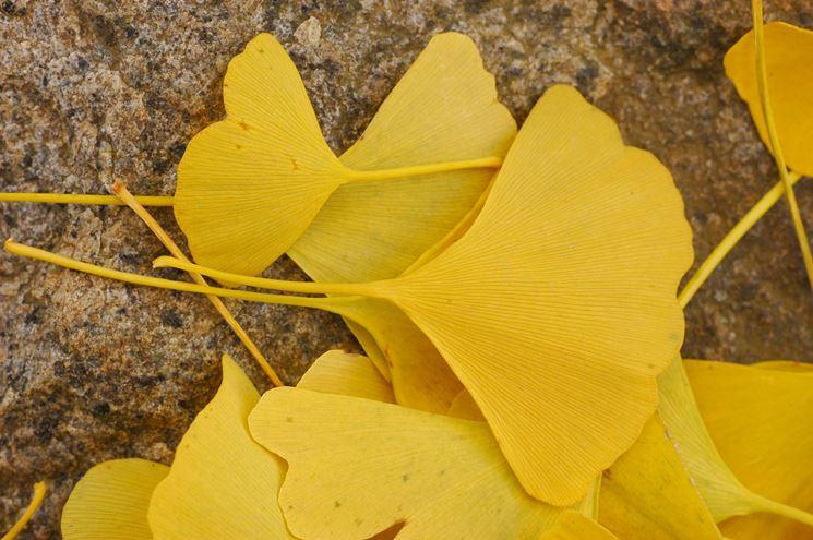 Foglie di Ginkgo in autunno