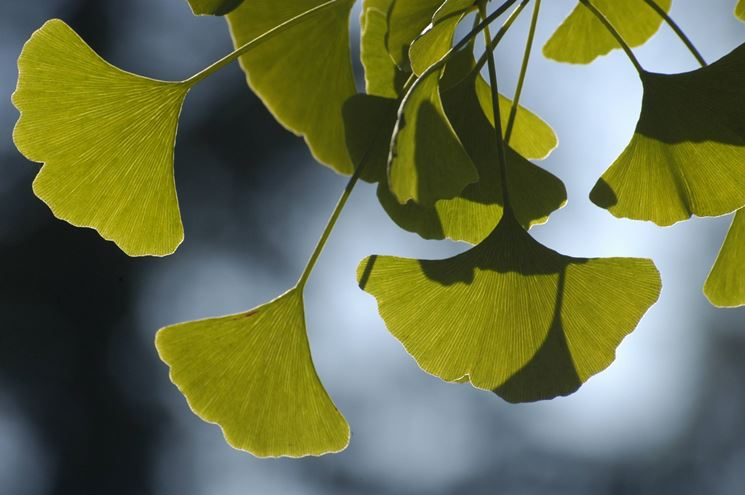 Le foglie di ginkgo biloba usate per composti e tisane