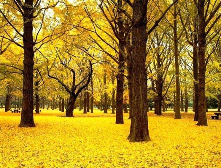 Un boschetto di ginkgo biloba in autunno con le foglie dorate