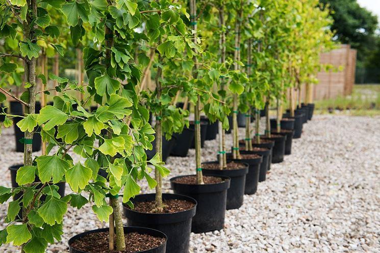 Giovani piante di ginkgo biloba