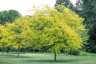 Esemplare di <em>gleditsia</em> in autunno