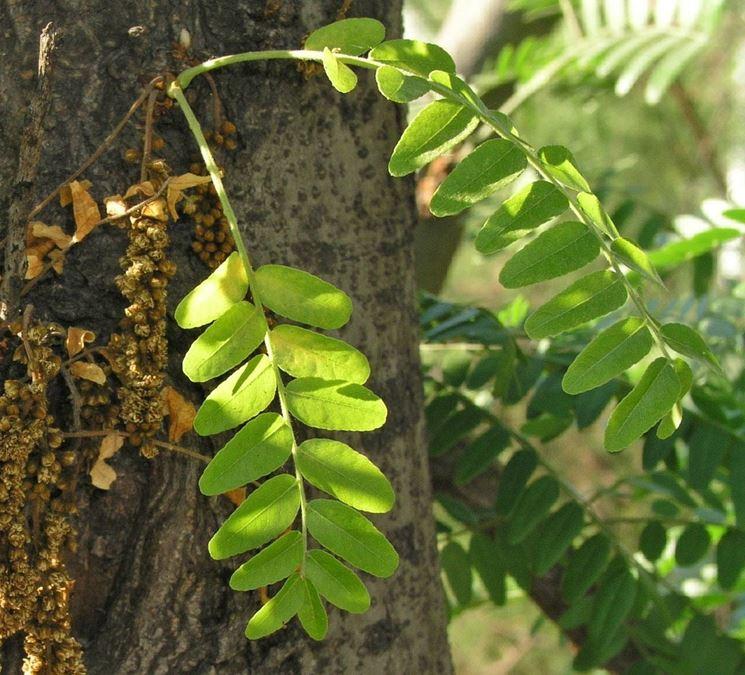 Particolare: foglie di gleditsia