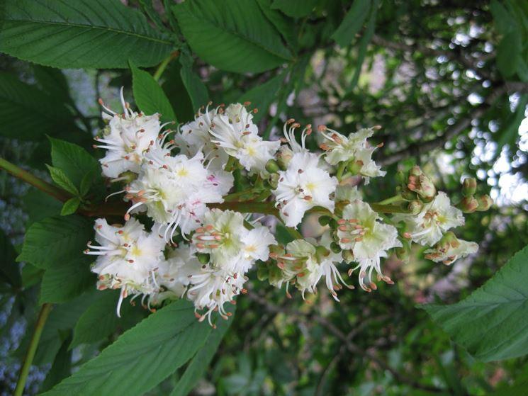Foglie fiori ippocastano