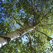 La betulla alberi latifolie caratteristiche della betulla for Alberi alto fusto nomi