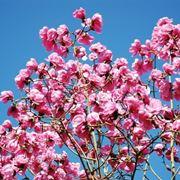 magnolia a foglie caduche