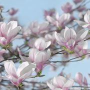 magnolia pianta tipi