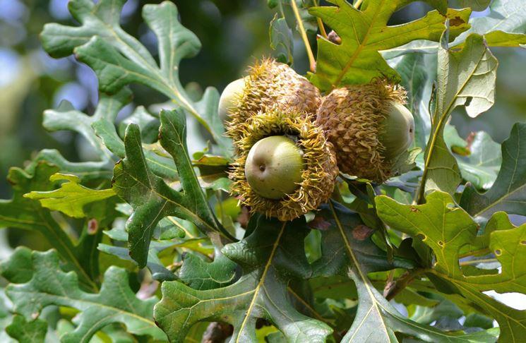 Fruttificazione nell'albero di Quercia
