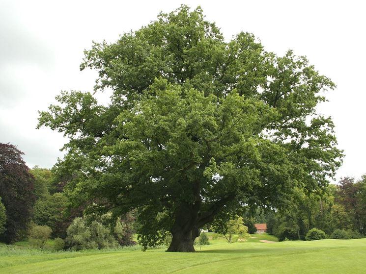 Rovere (Quercus Petraea)