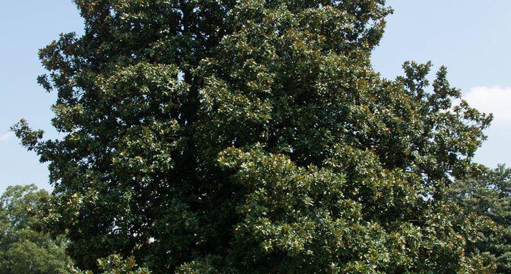 Essemplare di magnolia grandiflora