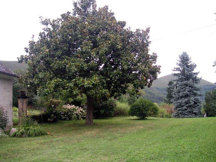 Albero di magnolia grandiflora