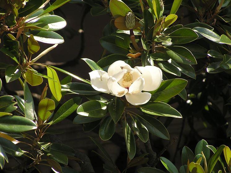 Magnolia grandiflora, foglie