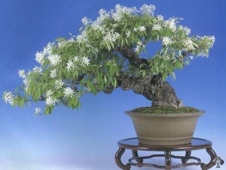 Magnolia stellata bonsai.