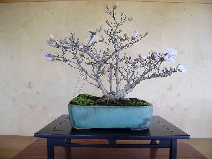 Magnolia bonsai con tiranti.