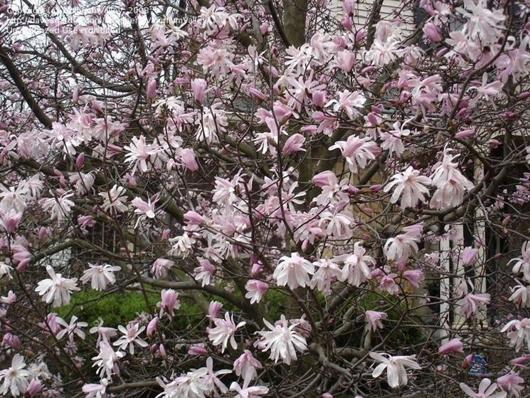 Magnolia stellata rosea.