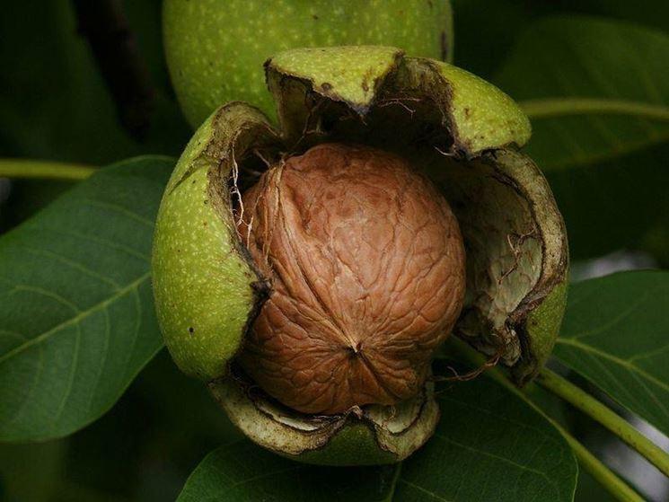 Il frutto e il seme dell'albero della noce