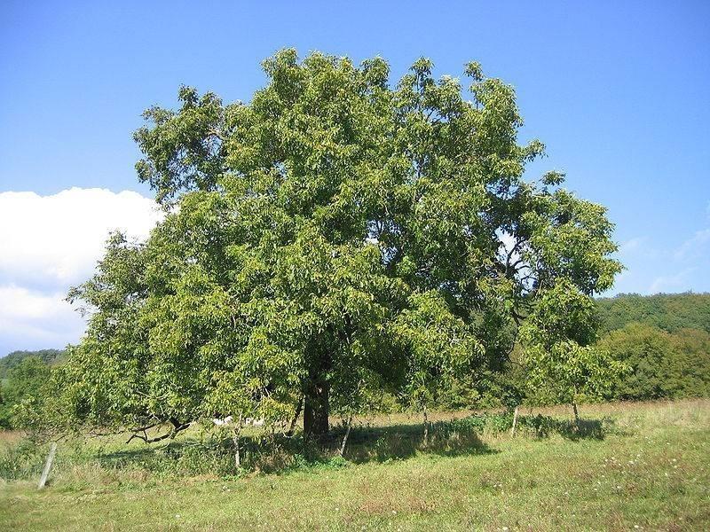 Noce albero alberi latifolie caratteristiche dell for Pianta di noci