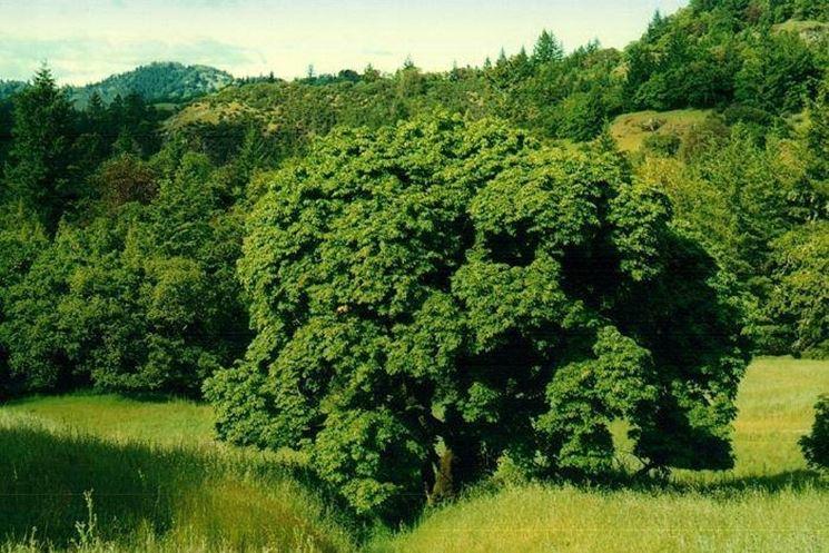 Albero latifoglie