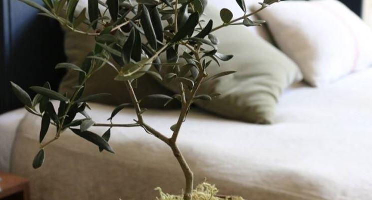 Giovane pianta di olivo in vaso
