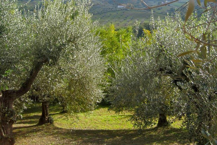 Olivi o ulivi alberi latifolie caratteristiche degli olvi - Grandi alberi da giardino ...