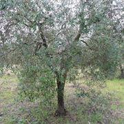 olivi o ulivi