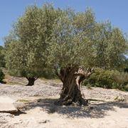 ulivi o olivi