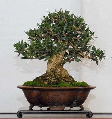 Olivo bonsai