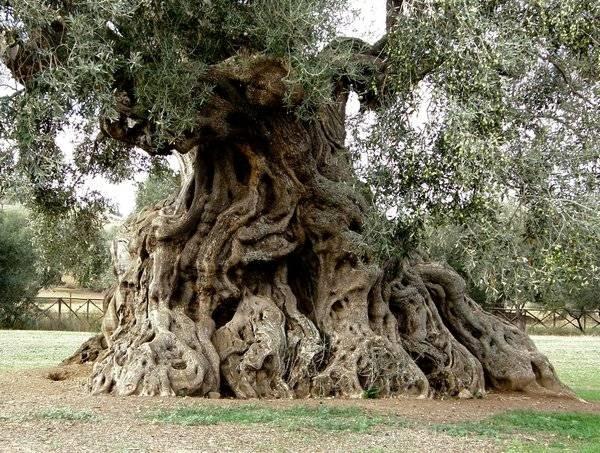 Olivo o ulivo alberi latifolie caratteristiche dell - Giardino con ulivo ...