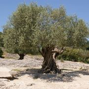 olivo o ulivo