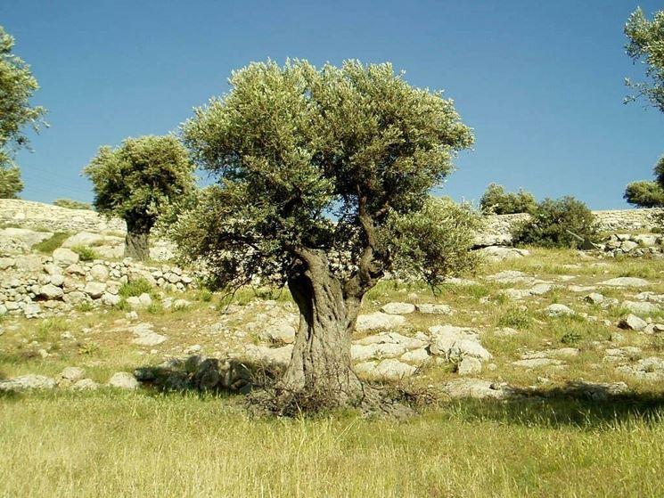 Pianta d'olivo