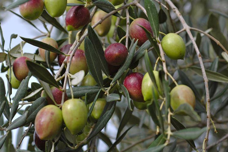 Varietà di pianta d'olivo con i suoi frutti