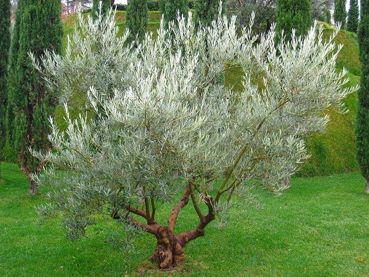 Un esemplare di olivo