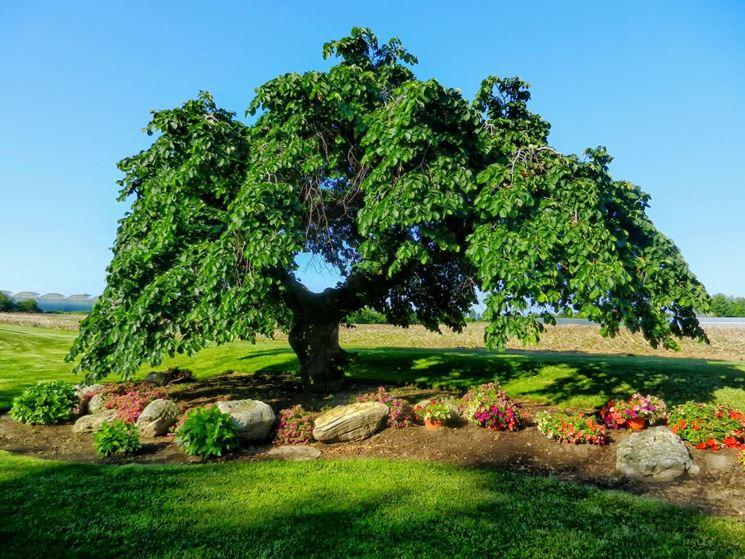 L'albero dell'olmo