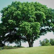albero olmo
