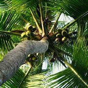 palma albero