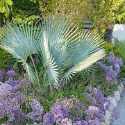 Una palma Brahea decumbens, in una aiuola di giardino