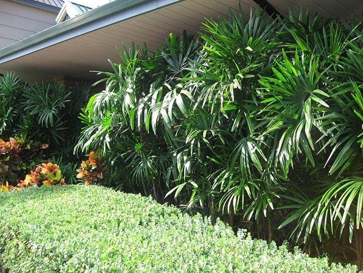 La palma Rapis coltivata in giardino