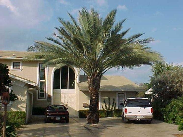 Una palma da dattero coltivata in giardino