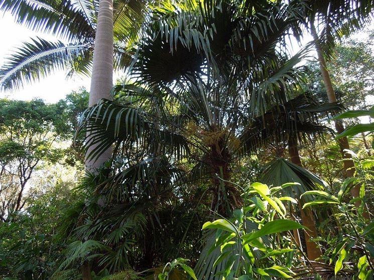 La palma Tritrinax in natura