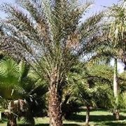 palma da giardino