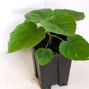 Un esempio di paulownia tomentosa in vaso da piantare