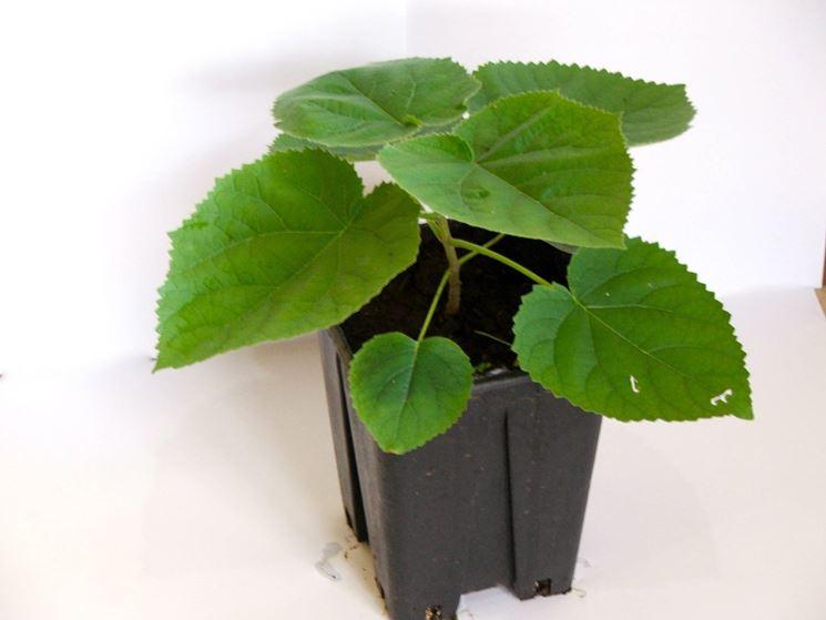 Un esempio di <strong>paulownia tomentosa</strong> in vaso da piantare