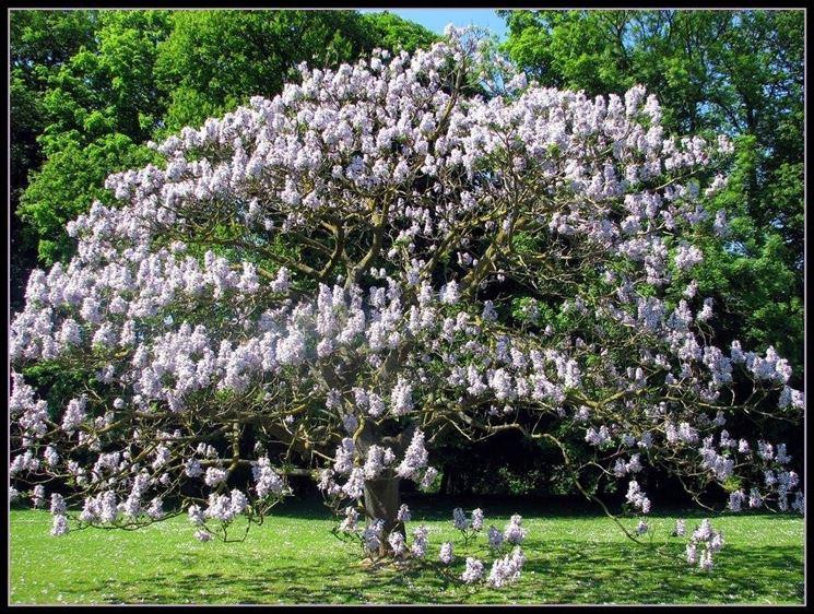 Albero di paulownia tomentosa in piena fioritura