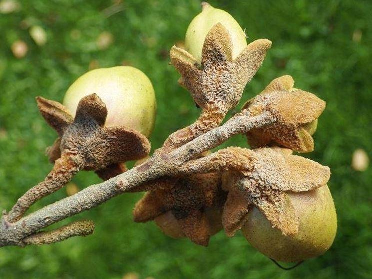 Frutti di paulownia tomentosa