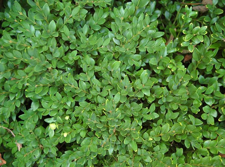 Pianta bosso alberi latifolie bosso pianta for Pianta bosso prezzo