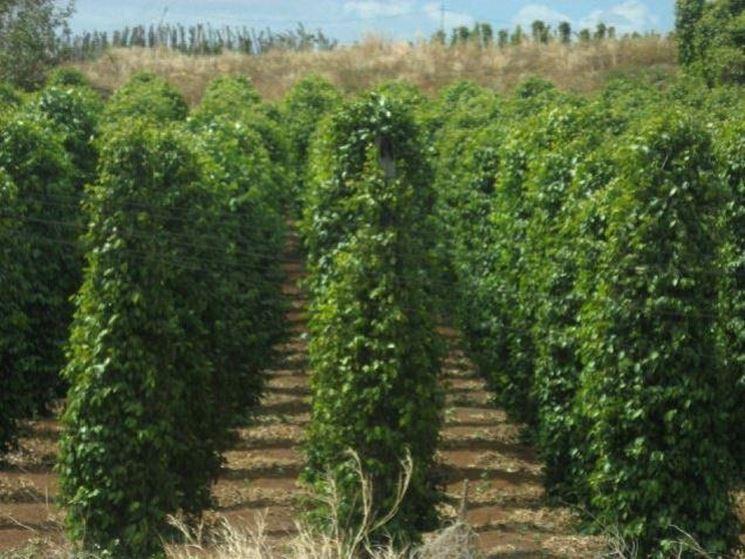 Coltivazione di piante di pepe