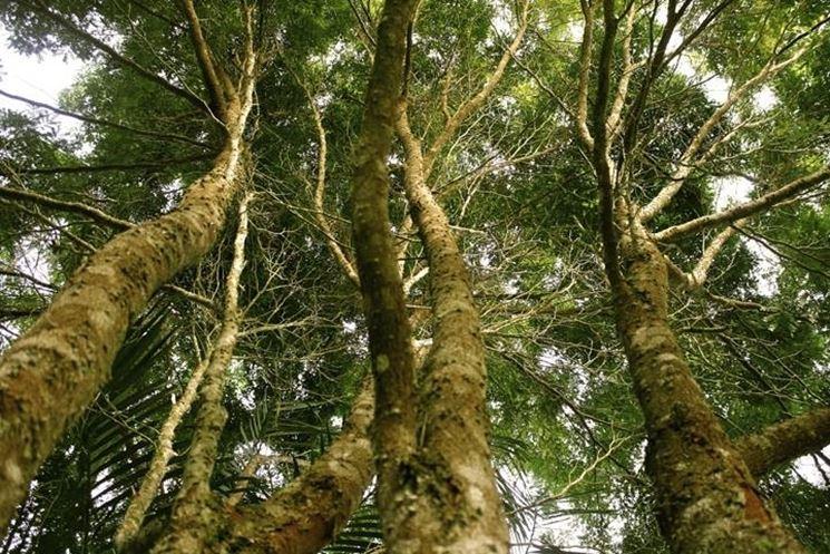 Piante Alto Fusto : Piante alto fusto alberi latifolie con