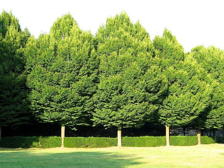 piante alto fusto alberi latifolie piante con fusto alto