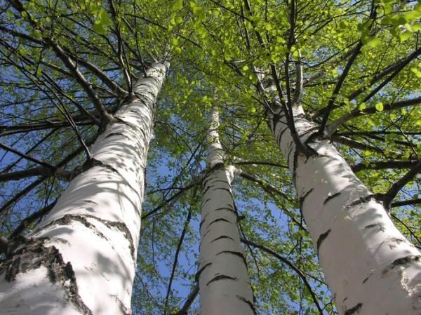 Pianta alto fusto: betulla bianca