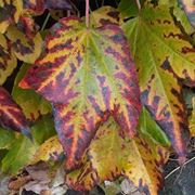 Foglie di Acero in autunno