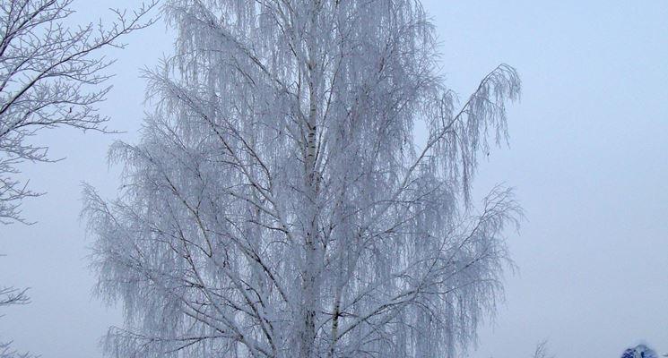 Albero di Betulla in inverno
